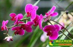 蝴蝶兰的养殖方法和