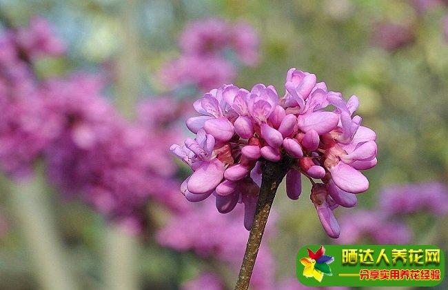紫荆花什么时候开花?控制花期如何使紫荆在元旦开花?