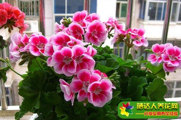 天竺葵的花语是什么?天竺葵的传说是怎么样的?