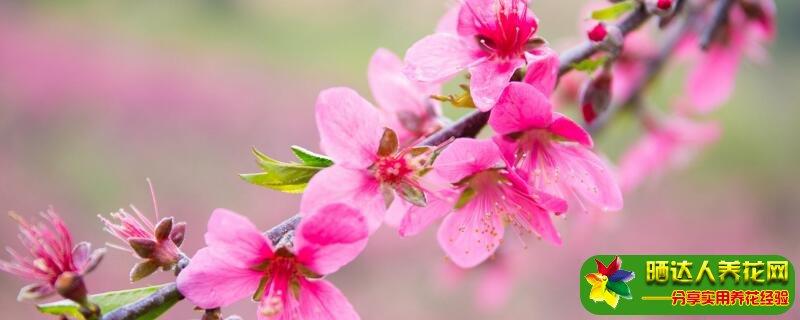 桃树夏剪的时间与方法