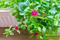 牡丹吊兰的养殖方法