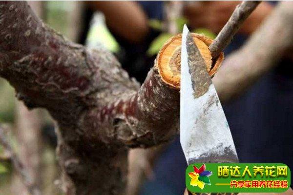 果树接枝方法图片