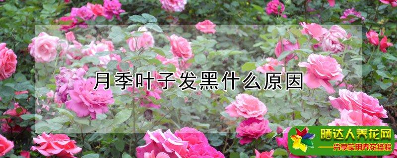 茶花叶子边缘发黑是什么原因图片
