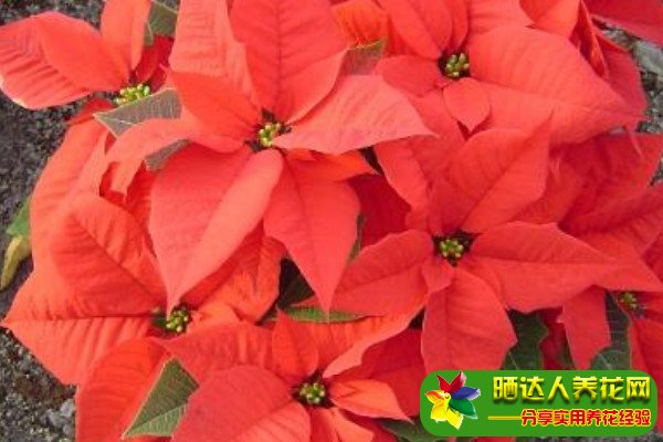 一品红的叶子能红多久图片