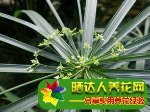 旱伞草养殖方法图片