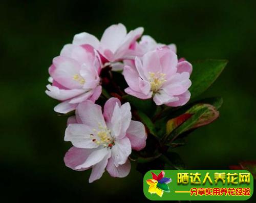 四季海棠叶子干枯怎么回事图片