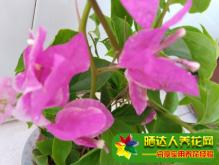 蝴蝶兰的花骨朵蔫了图片